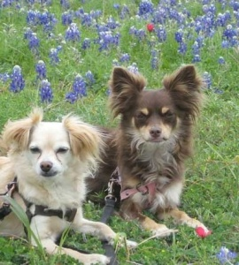 Chester & Lola in the Austin bluebonnets