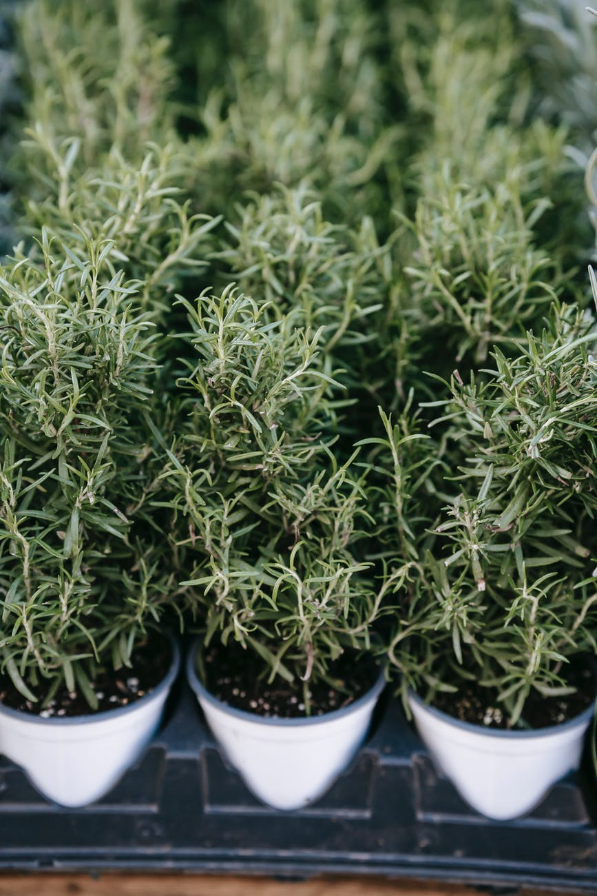 potted lush rosemary plant placed on market stall